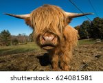 scottish highland cow cattle on ... | Shutterstock . vector #624081581