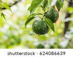 fresh yuzu or japanese citrus...   Shutterstock . vector #624086639