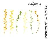 mimosa flower hand drawn vector ... | Shutterstock .eps vector #624091151
