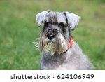 The Miniature Schnauzer On A...