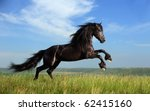 Stock photo beautiful black horse playing on the field 62415160