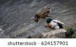 Mallard  Wild Duck  Anas...