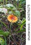 Small photo of red poison mushroom Amanita muscaria