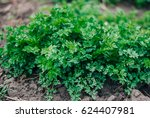 new harvest of parsley | Shutterstock . vector #624407981