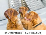 three hungry bordeaux dog... | Shutterstock . vector #624481505