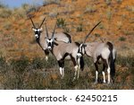 oryx on a red dune in the... | Shutterstock . vector #62450215