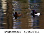 Male And Female Coots On The...