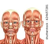 3d male and female face anatomy ... | Shutterstock . vector #624657281