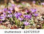 saffron  crocus | Shutterstock . vector #624725519