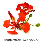 peacock flowers  delonix regia  ... | Shutterstock . vector #624729977