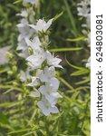 white flowers bells are... | Shutterstock . vector #624803081