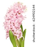 Light Pink Hyacinth Flower...