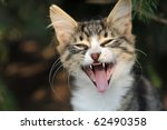 Kitten Yawning - stock photo