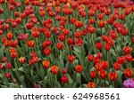 orange tulips flower in the... | Shutterstock . vector #624968561