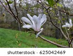 White Magnolia Trees And Flowers