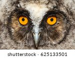 Asio Otus. Face Eared Owl Boy.