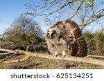 Asio Otus. Eared Owl Boy.