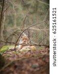 a eurasian lynx  | Shutterstock . vector #625161521