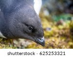 Small photo of Little auk (dovekey, Alle alle). One of most Northern birds in world. Portraiture