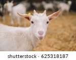 Goat On The Farm  Young Goat O...