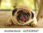 adorable pug dog lying on floor | Shutterstock . vector #625328567