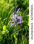 Small photo of A closeup of the Camas flower (Camassia qua mash),a member of the Liliaceae family. It grows in Washington, Idaho, and Oregon, and some areas in bordering states.