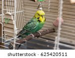 Budgie Sitting On The Wooden...