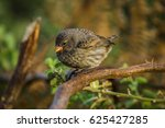 darwin's finch isolated on a...   Shutterstock . vector #625427285