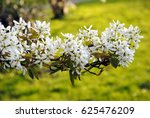 Small photo of White blossoming branch of juneberry or snowy mespilus or Amelanchier lamarckii against a background of green grass