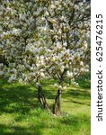 Small photo of White blossoming juneberry trees or snowy mespilus of Amelanchier lamarckii on a green lawn