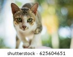 Stock photo cat thai 625604651