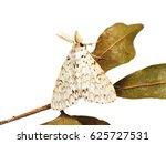Lymantria Male Moth From...