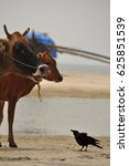 Crow Challenges Two Cows On Th...