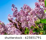 beautiful spring background. pink lilac flowers closeup on a branch. blurred background of blossoming garden in springtime - stock photo