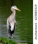 portrait of a great blue heron ... | Shutterstock . vector #625885319
