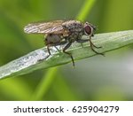 Small photo of Small wild fly on the grass.Coenosia sp.Tiger Fly