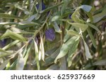 olive growing on olive tree at... | Shutterstock . vector #625937669