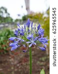 Small photo of Blue agapanthus on the island of Madeira