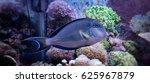 Small photo of Acanthurus Sohal Tang fish