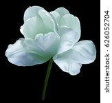 Turquoise Flower Tulip On Blac...