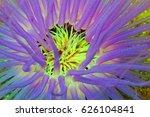 tube sea anemone with purple... | Shutterstock . vector #626104841
