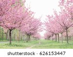 japanese cherry blossoms  | Shutterstock . vector #626153447