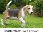 strong purebred beagle dog in... | Shutterstock . vector #626170964