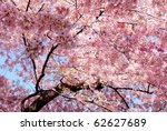 Cherry Blossom Background With...