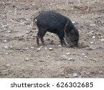 collared peccary  tayassu... | Shutterstock . vector #626302685