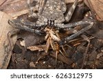 Small photo of Damon diadema amblypygid (the tailless whip scorpion) feeding on a house cricket (Acheta domesticus)