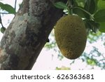 jackfruit is a large tree with... | Shutterstock . vector #626363681