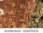 anemonefish  amphiprion sebae ... | Shutterstock . vector #626370131