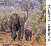 Small photo of African bush elephant in Kruger national park, South Africa ; Specie Loxodonta africana family of Elephantidae