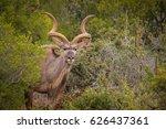 Kudu In The Bush